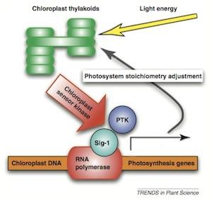 Chloroplast Sensor Kinase